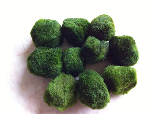 Topbilliger Pflanzen Mooskugeln 10x - 3-5 cm - natürlicher Biofilter für`s Aquarium