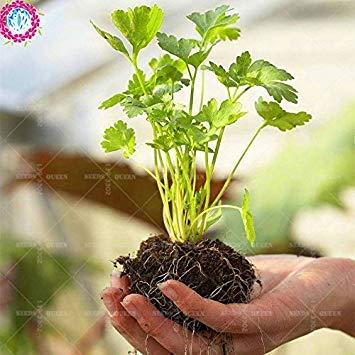 Vista 100 pcs/sac graines de coriandre saisons persil arôme graines naturelles Graines de légumes biologiques comestibles plante verte bricolage pour la maison jardin