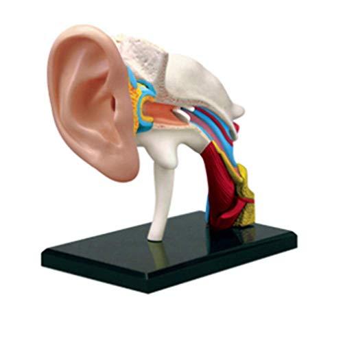 AXAA Anatomie-Gehörgang-Puzzle-Modell - Organe des menschlichen Ohrgelenks Anatomisches Modell Lernspielzeug für Kinder Kinder Wissenschaftliche Experimente