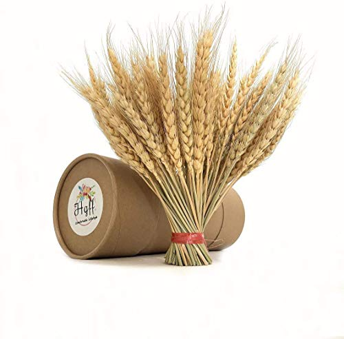 HGFF100 tallos de trigo seco con tallos, gavas de trigo secas doradas, arreglos de otoño, ramo de trigo para bricolaje o…