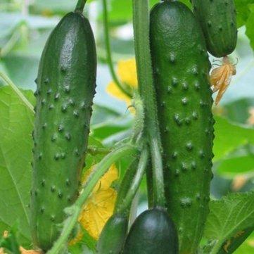 Generic Generische Gurkensamen Knackig Gemüse Obst Samen für Hausgarten Gewächshaus Pflanzen-20 Stück/Pack