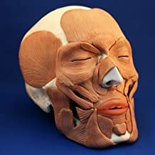 Wellden Medical Anatomical Skull with Facial Musculature Model