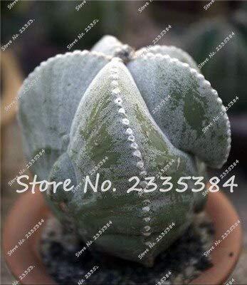 21: Rare Exotic Cactus Seeds Plantes Succulentes Cactus Bleus Pour La Décoration De La Maison Jardin Purifiez L'air Et Empêchent Le Rayonnement - 100 Pcs