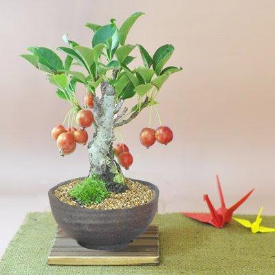 盆栽妙 姫りんごの盆栽 幅22cm×樹高20cm