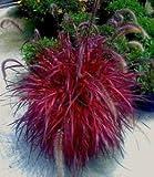 Pennisetum setaceum | Purple Fountain Grass Fireworks | 20_Seeds