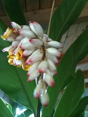 Heliconia/Ginger frische Zwiebeln/Wurzelstöcke bereit zu Pflanzen