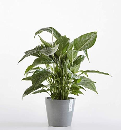 Fleur de lune | Spathiphyllum |Plante dépolluante | plante d'intérieur| hauteur 100 cm | Pot 24 cm | Entretien facile (100cm, ECOPOTS Bleu)