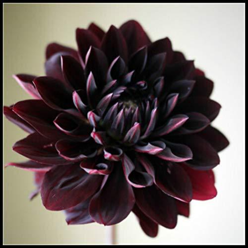 Dahlien Knollen Winterhart,Garten,Balkonpflanzen,Schöner Junger Mann,Der Faszinierende Geruch,Die Gartenpflanzen Im Frühling,Sind Faszinierend,-1,3 Zwiebeln