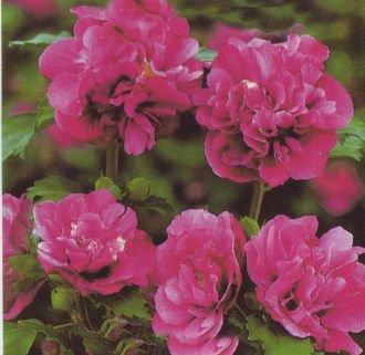 Hibiscus syriacus 'Duc de Brabant' - (Hibiskus - Garteneibisch 'Duc de Brabant')- Containerware 40-60 cm