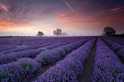 Lavender Field Dawn Photo Art Print Poster 36x24
