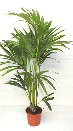 Blumen-Senf Kentia Palme 110-120 cm Howea forsteriana