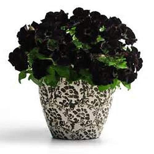 Elitely 100 Stcke/Schwarz Petunie Samen Seltene Schwarze Petunie Blumensamen In Bonsai Indoor Blumensamen Fr Hausgarten Bonsai Samen