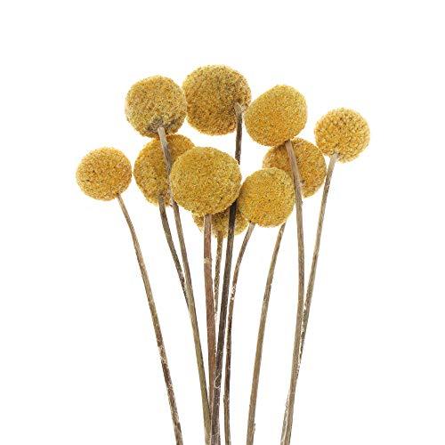 Johnshine - Set di 10 pezzi per decorazioni per la casa, motivo floreale, ideale come decorazione per la casa, fiori secchi e craspedia, globulosa in oro naturale (diam. 1-1,5 cm)