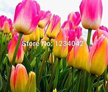 Clear : 1000 PC 16kinds courtyard high-grade blue striped tulips seeds flower seed, the world's rare bonsai seeds, flowers plant