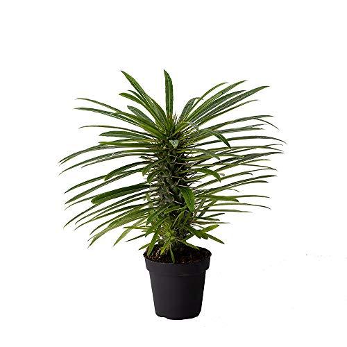 American Plant Exchange Madagascar Palm Exotic Specimen Live Plant, 4' Pot,...