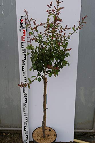 Chaenomeles speciosa Friesdorfer Typ 205 - Scheinquitte Friesdorfer Typ 205