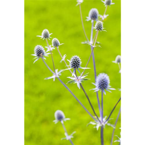 Eryngium planum 'Blaukappe' - Kleiner...