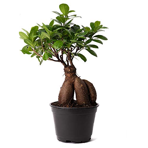 American Plant Exchange Ficus Ginseng Microcarpa Easy Care 4 Year Old Bonsai Tree Live Plant, 6' Pot, Indoor Air Purifying Beauty
