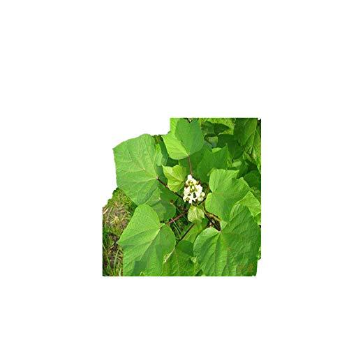 Graine de Catalpa, Rivière Catalpa, Sycomore malodorant, Sorbus jaune, Tungarie d'eau, Caroube, Graine d'arbre doré 300g