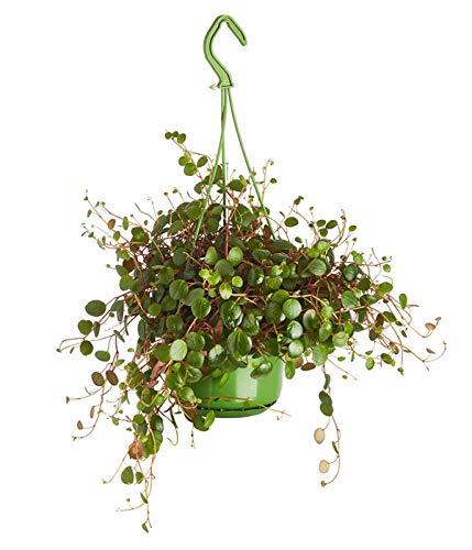 Yukio Samenhaus - 20pcs Rarität Peperomie - Zwergpfeffer 'Pepperspot' als Ampelpflanze, Pflegeleicht Blattschmuckpflanze Zimmerpflanze Blumensamen winterhart mehrjährig