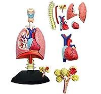 人体肺モデルモデル