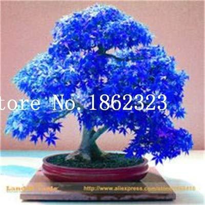 Shopmeeko Graines: Vente chaude! 30 pcs arbre d'érable Bonsa, Bonsa Bonsaï d'érable bleu d'érable japonais, plantes pour jardin et maison Balcon, facile à cultiver: 5