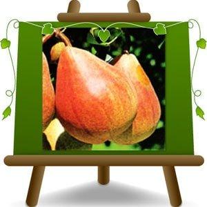 poirier poires précoce de Fiorano plante fruitière sur un pot de 26 max 200 cm - 4 ans