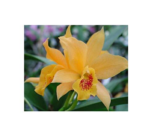 Stk - 1x Laeliocattleya Golddigger Buttercup Großblüte Orchidee Pflanze OW97 - Seeds Plants Shop Samenbank Pfullingen Patrik Ipsa