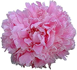 Special Sale: Double Pink Peony - Grace Batson Bare Root 3-5 Eyes