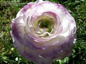 2016 Graines HOT 200PCS Ranunculus asiaticus fleur pour Maison & Jardin Plantes Bricolage Persian Buttercup Seed Flower Bulbs