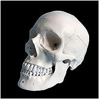 等身大人間の頭蓋骨モデル-人間の頭の解剖学的モデル-Pvc素材人間の頭蓋骨モデルスケルトン像-医療実習トレーニングモデル用