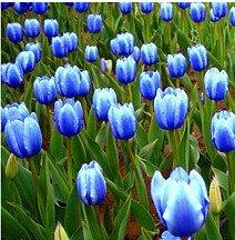 Todos los tipos de bulbos de tulipanes hermosas flores de jardín son adecuados para las plantas en maceta (no es una semilla de tulipán) bulbos 2PC 6