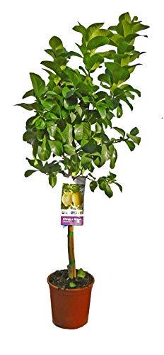 Planta de fruta de Botanicly – Limonero – Altura: 100 cm – Citrus Limon