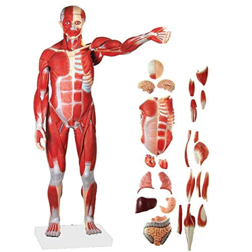 Human Body Model with Muscles And Internal Organs Human Skeleton Model Human Muscle Model Human Internal Organs Model 31.5 Inches