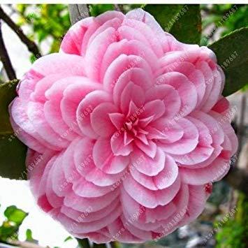 Vistaric 100% de vraies graines de camélia, (camellia japonica), graines de fleurs de bonsaï en pot de plantes d'extérieur en pot de bricolage pour la maison jardin 5 pcs/sac 10