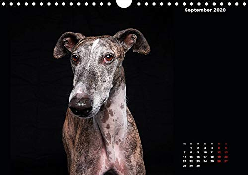 『Gier, M: Stimme der Windhunde (Wandkalender 2020 DIN A4 quer』の10枚目の画像