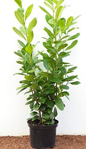 Kirschlorbeer Heckenpflanzen immergrün Sichtschutz Prunus lauroc.'Novita' im Topf gewachsen 80-100cm (10 Stück)