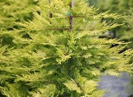 Goldene Leylandii Zypresse - Heckenpflanze - Cupressocyparis leylandii Gold Rider - 80-90cm im 3Ltr. Topf