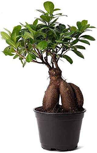 Bonsái Ficus Ginseng Planta Natural de Interior y Exterior Ficus Retusa Árbol Natural