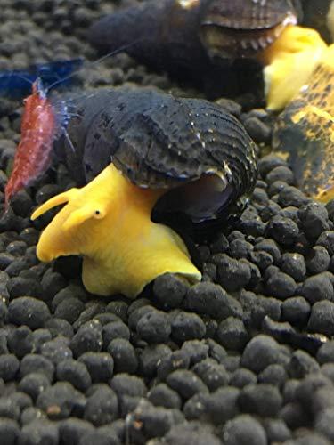 Awesome Aquatics 5 Orange Poso Sulawesi Rabbit Snails Tylomelania Live Freshwater Snail