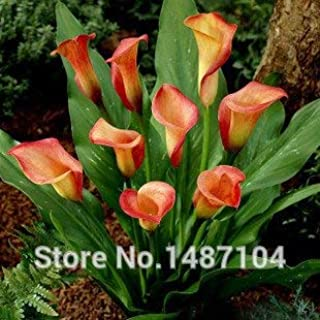 Potseed 50pcs Cala - Zantedeschia aethiopica Semillas de Flores (No Bulbos) Blanca