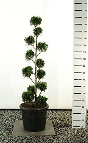 Lebensbaum Formschnitt - Thuja plicata `Martin´ - verschiedene Größen (150-175cm - Topf Ø 36cm -20Ltr. - MULTIKUGEL)