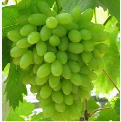 50 pcs/lot de raisin rouge doux Graines avancée Fruit graines croissance naturelle de raisin délicieux fruits de jardinage Plantes 5