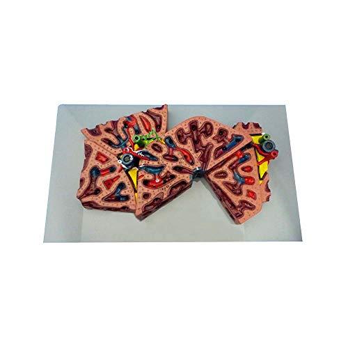 Hígado Lóbulo