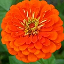 Orange Zinnia Seeds, Orange King, Heirloom Zinnia Seeds, Heirloom Flowers, 75ct