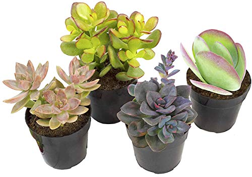 Altman Plants Assorted Live Desert Fire Succulents Collection Bright color changing fun oranges and reds, 2.5', 4 Pack