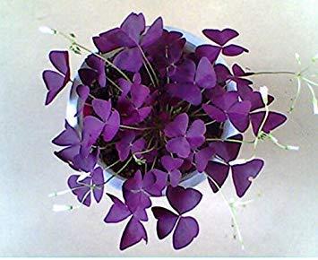 VISTARIC 5: 100 Pcs vrai Cactus Seeds, Mini Cactus, Figuier, Succulentes japonais Graines Bonsai Fleur, Plante en pot pour jardin 5