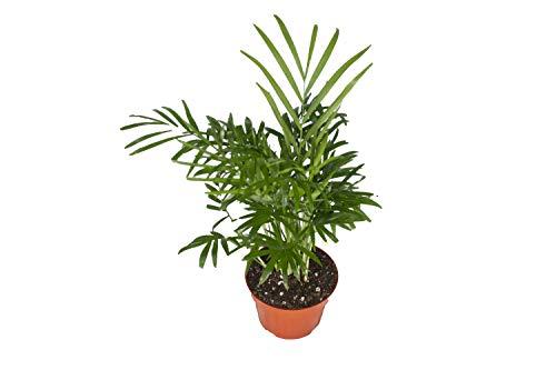 Areca Palm (Golden Cane Palm) - 4'' from California Tropicals