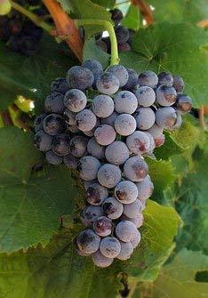 Petit Verdot Wine Grape Vine - Plantable Year Round!