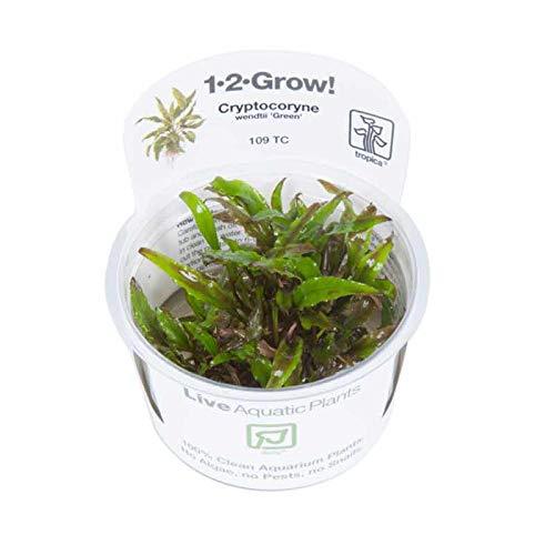 Tropica Cryptocoryne Wendtii 'Grün' 1-2-GROW